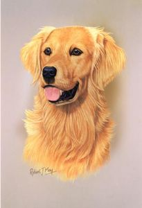 Golden Retriever Head Study Print RMDH82